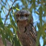 natural-area-pilbara-owl 579 x 579