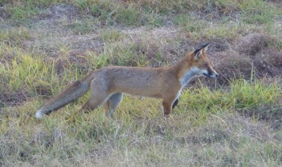 fox-feral-animal-control-615-x-326