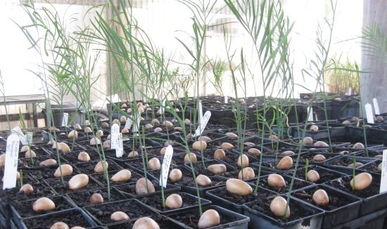 nursery-macrozamia-seedling-615-x-326