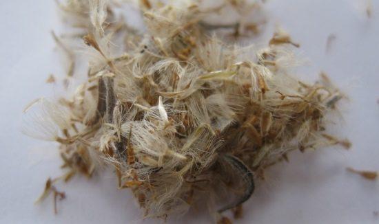nursery-seed-olearia-axillaris-615-x-326