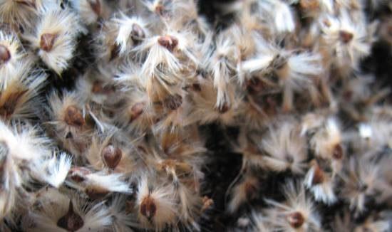 nursery-seed-petrophile-linearis-615-x-326