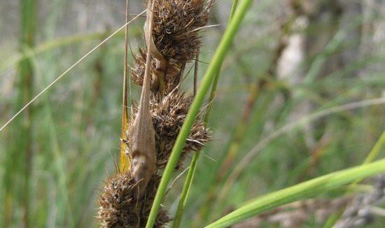 seed-Gahnia-trifida-6125-x-326