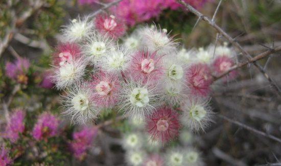 seed-Verticordia-huegelii-615-x-326