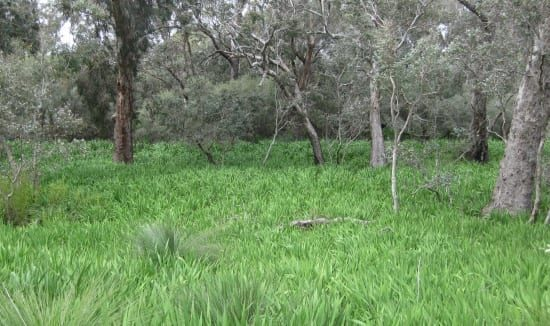 watsonia-wetland-weed-615-x-326
