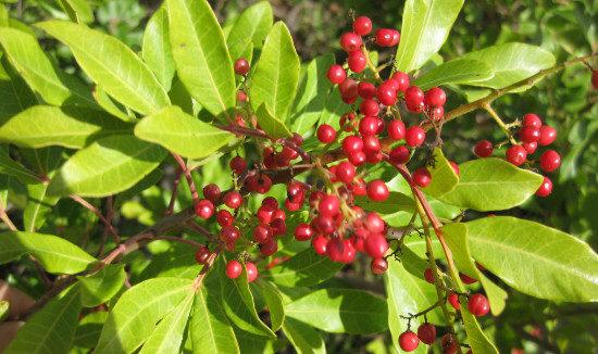 weed-control-Schinus-terebinthifolius-Japanese-Pepper-615-x-326