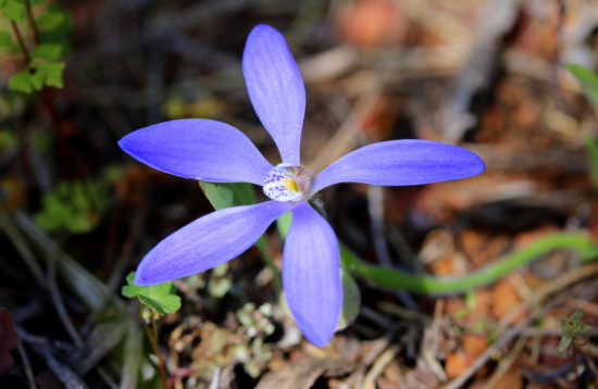 Blue China Orchid - Cyanicula gemmata labellum