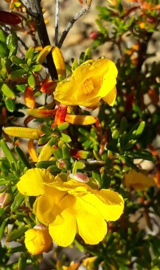 Hibbertia hypericoides