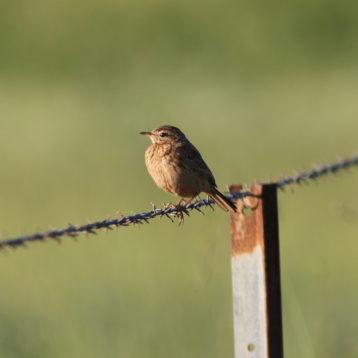 Rufous songlark - Megalurus mathewsi